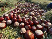 Lots Of Chestnuts Laid Down On A Field