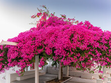 Beautiful Bougainvillea Tree With Awesome Colors In Santorini Greek Island Against Blue Sky