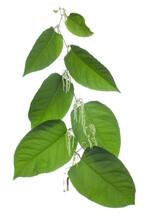 Reynoutria Sachalinensis  ( Ru...