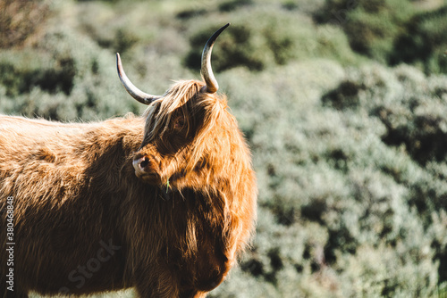 Fotografie, Obraz Free running a close up shot of a head of a highland cow between some dunes