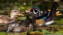 Wood Ducks On The Lake