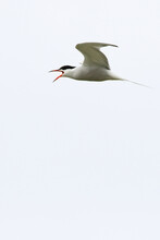 Common Tern Screaming While In Flight