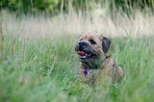 Border Terrier Sitting In Long Grass