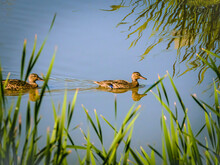 Two Female Ducks Swimming In Blue Pond, Seen Through  Defocused Reeds