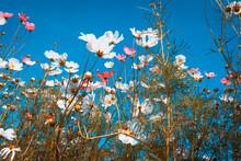 Beautiful Cosmos Flowers Are B...