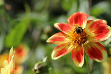 Bee On Dahlia Flower