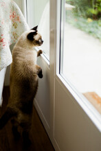 Siamese Cat Standing On Two Feet In Order To Look Out And Control What's Going On In The Garden