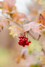 Red Berries In Autumn