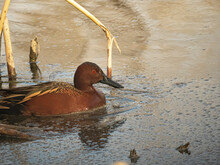 Cinnamon Teal Duck Swimming Among The Reeds At Cherry Creek SP, Colorado