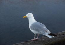 Seagull Overlooking The Sea