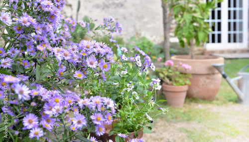 Fotografie, Obraz bush of aster flowers blooming  in the garden of a rural house