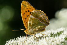 Detailed Close Up Of A Silver Washed Fritillary Butterfly In Sunlight