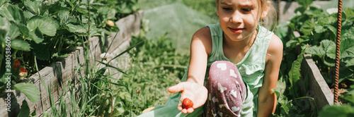 kid girl picking ripe strawberries in summer season on organic strawberry farm Canvas Print