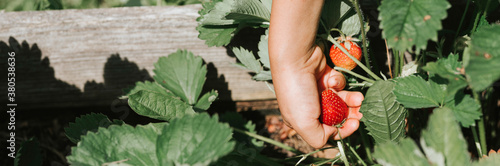 ripe strawberry in a child's hand on organic strawberry farm, people picking strawberries in summer season, harvest berries Canvas Print
