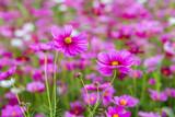 Fototapeta Kosmos - Cosmos flower fields