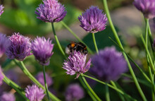 Shaggy Bumblebee Lit By The Su...