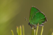 Macro Shot Of Green Hairstreak (Callophrys Rubi) Butterfly Perched On Pine Needle. Isolated