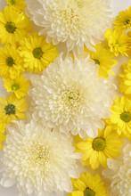White And Yellow Chrysantemum ...