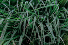 Green Grasses With Drops Of Water