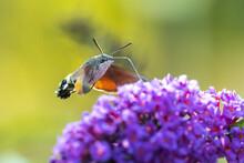 Hummingbird Hawk-moth Macroglo...