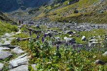 Kamienny Szlak W Dolinie Za Mnichem Wśród Kwitnących Tojadów, Tatry