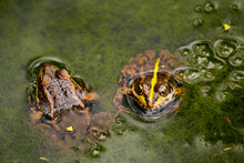 Close Up Of Frogs In The Green...
