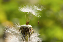 White Seed Of Dandelion Flying With Wind