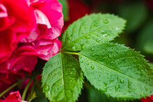 Close-up Of Bright Green Leaves On The Rose Bush In The Garden Covered With Water After Raining Or Watering.