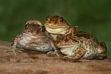 Three Funny Common Spadefoot T...