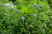 Shady Flowers Grow Best In Semi-shady Habitats In Lush, Moist And Nutritious Soils. It Is Suitable For Perennial Beds Or For Planting On The Edge Of A Group Of Trees.