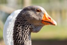 Portrait Of A Goose At A Farm