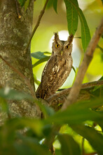 Pacific Screech Owl (Megascops Cooperi) Is A Species Of Owl In The Family Strigidae. It Is Found In Costa Rica, El Salvador, Guatemala, Honduras, Mexico, And Nicaragua.