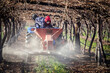 canvas print picture - Close up image of farmworkers putting down fertilizer in a block of table grapes in south africa
