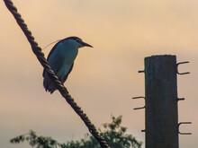 ...black Crowned Night Heron...