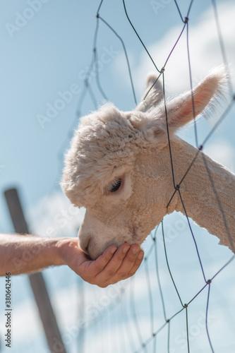 feeding alpaca boy Fototapet