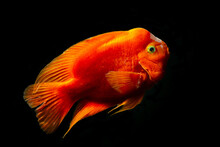 Red Blood Parrot Cichlid Are S...