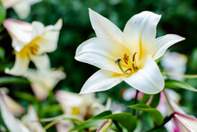 White Lily Flower Garden. White Easter Lily Blooming In Nature. Pretty Lilium Longiflorum Flower With Bud Outside In Spring. Flower Symbolizing Purity And Hope