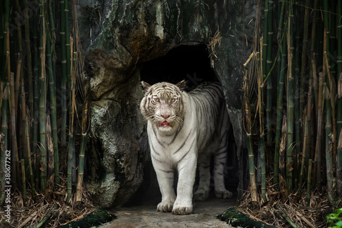 Fototapeta A white Bengal tiger staring out of the cave. obraz