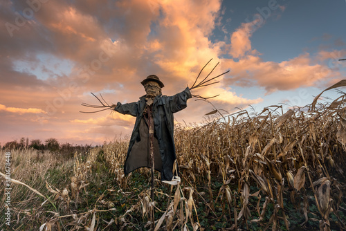 Fototapeta Scary scarecrow in a hat on a cornfield in orange sunset background. Halloween holiday concept obraz