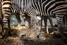 The Mother Of The Zebra Stands...