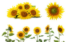 Set Of Bright Sunflowers On Wh...