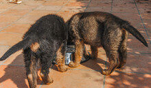 Two German Grass Dog Puppies W...