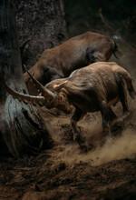 Ibex Goat Charging