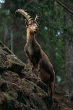 Ibex Goat Standing Up On Rocks