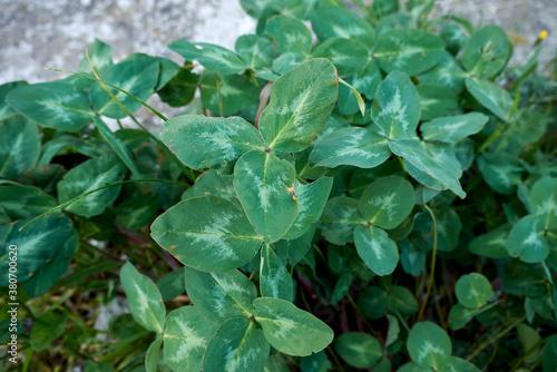 Fotografia Trifolium pratense