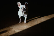 One Eyed French Bulldog Posing...