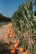 Corn And Pumpkins In Field