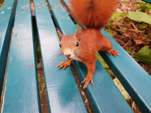 Red Squirrel Or Eurasian Red S...