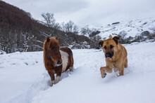 Shepherd Dog And Shetland Hors...