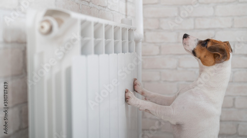Valokuvatapetti Dog Jack Russell Terrier has put its paws on the radiator and is warming up